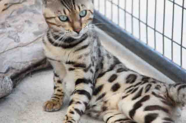 Exotic Cats For Sale In San Antonio Texas