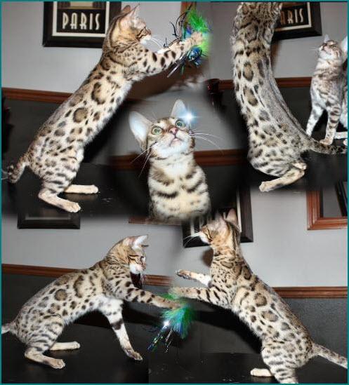 tabby cats for sale edinburgh