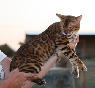 Spotagious Kittens Spotagious Bengals Exotic Bengal Cats