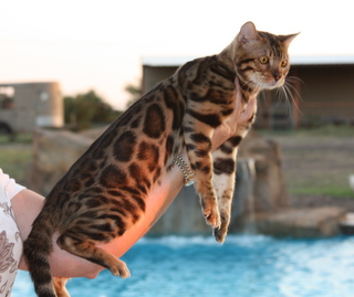 Bengal cat breeders tx