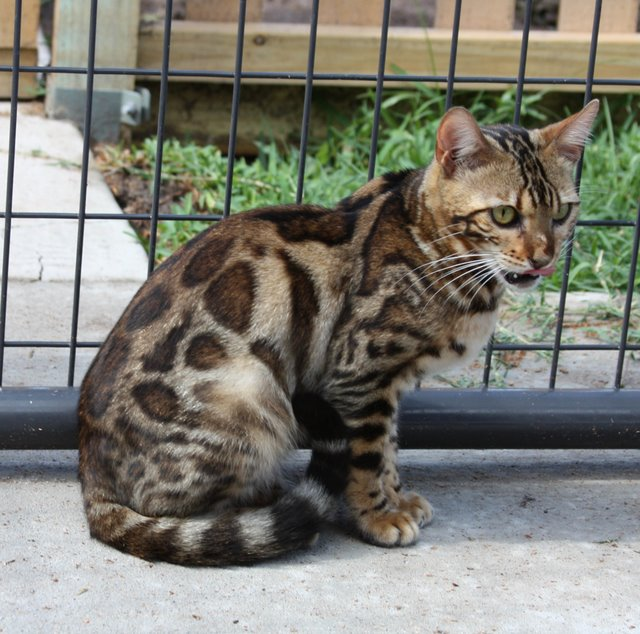 Spotagious Bengals South Texas Breeder Of Bengal Cats